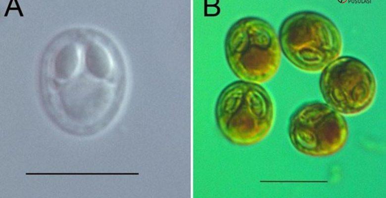 Samsun'da Dört Yeni Parazit Çeşidi Keşfedildi